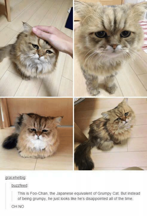 Grumpy Cats: gracehelbig:  buzzfeed  This is Foo Chan, the Japanese equivalent of Grumpy Cat. But instead  of being grumpy, he just looks like he's disappointed all of the time.  OH NO