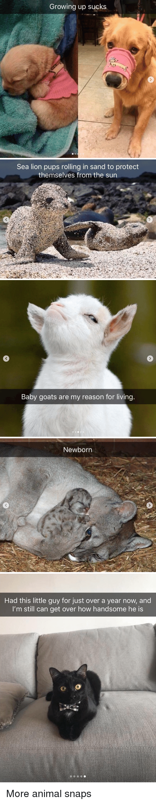 Growing Up, Animal, and Lion: Growing up sucks   Sea lion pups rolling in sand to protect  themselves from the sun   Baby goats are my reason for living   Newborn   Had this little guy for just over a year now, and  I'm still can get over how handsome he is More animal snaps