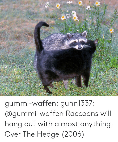 hedge: gummi-waffen:  gunn1337:  @gummi-waffen   Raccoons will hang out with almost anything.   Over The Hedge (2006)