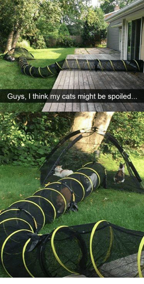 Cats, Memes, and 🤖: Guys, I think my cats might be spoiled..