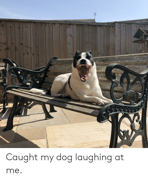 Dog Laughing: HA Caught my dog laughing at me.