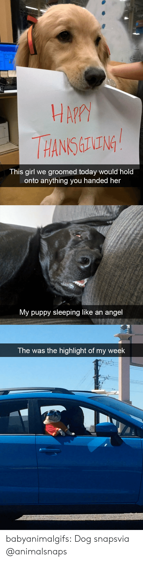 Tumblr, Angel, and Blog: HA?  HANS ING  This girl we groomed today would hold  onto anything you handed her   My puppy sleeping like an angel   The was the highlight of my week babyanimalgifs:  Dog snapsvia @animalsnaps