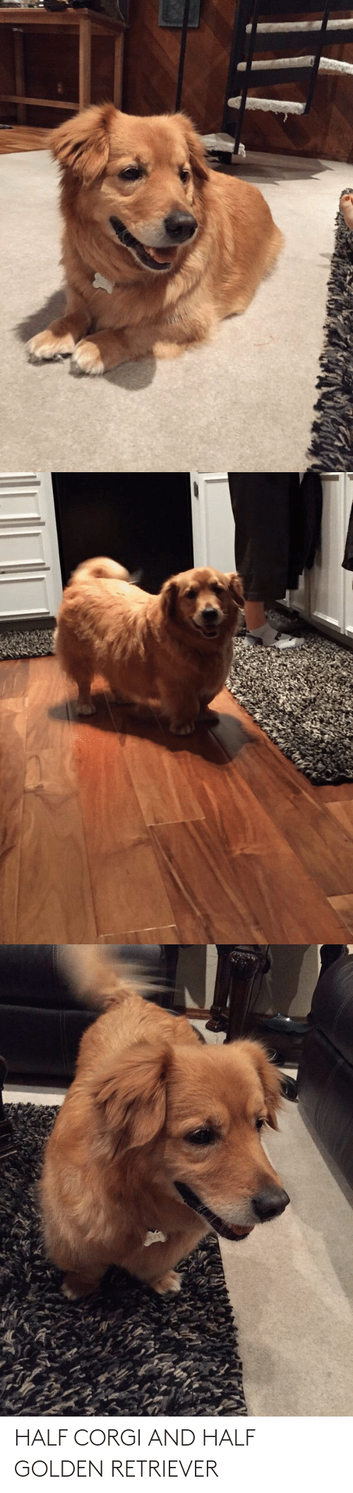 Half: HALF CORGI AND HALF GOLDEN RETRIEVER