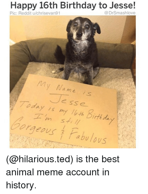 Birthday, Meme, and Memes: Happy 16th Birthday to Jesse!  @DrSmashlove  Pic: Reddit u/chrisevan91  My Na me is  Jesse  Today is myルth birthda  Gorgeous Pabulous (@hilarious.ted) is the best animal meme account in history.