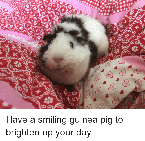 Pigly: Have a smiling guinea pig to brighten up your day!
