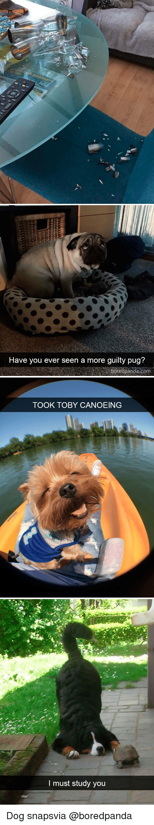 Dog, Com, and Via: Have vou ever seen a more quilty pua?  boredpanda com   TOOK TOBY CANOEING   I must study you Dog snapsvia @boredpanda