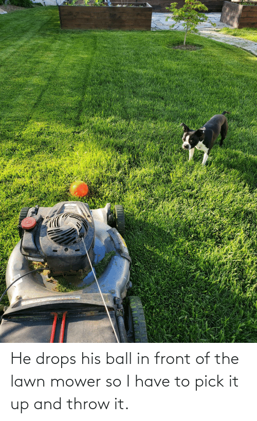 Drops: He drops his ball in front of the lawn mower so I have to pick it up and throw it.