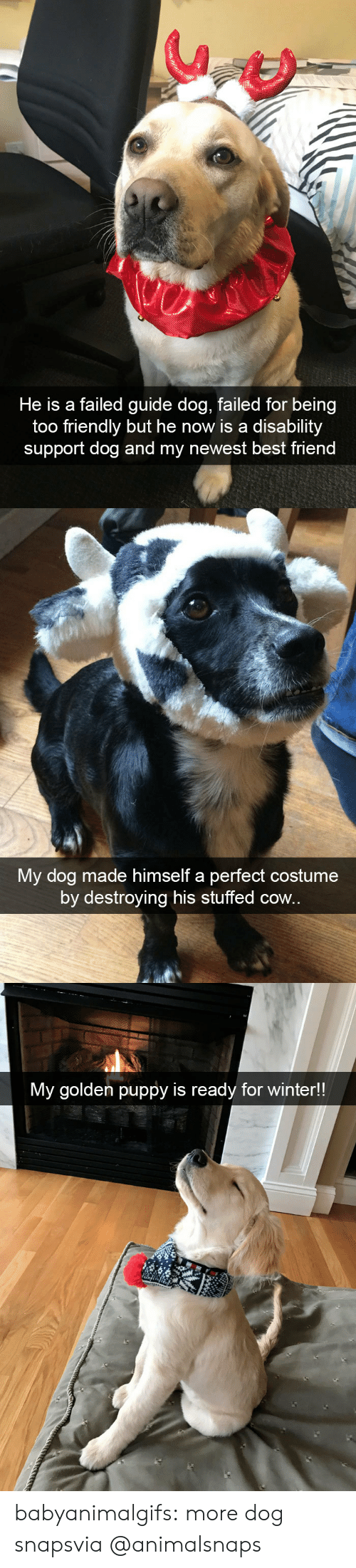 guide: He is a failed guide dog, failed for being  too friendly but he now is a disability  support dog and my newest best friend   My dog made himself a perfect costume  by destroying his stuffed cow.   My golden puppy is ready for winter!! babyanimalgifs:  more dog snapsvia @animalsnaps​