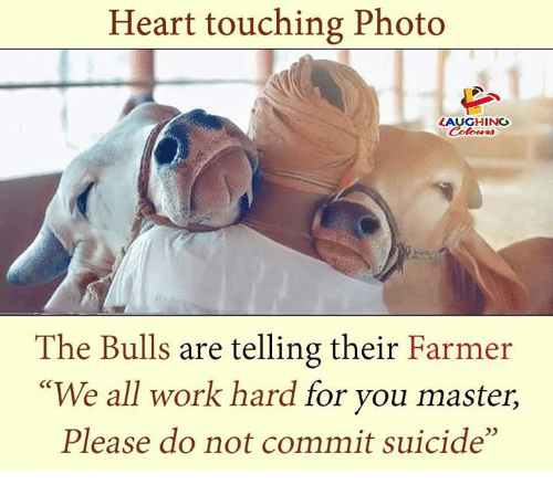 """the bulls: Heart touching Photo  LAUGHING  Celowrs  The Bulls are telling their Farmer  """"We all work hard for you master,  Please do not commit suicide"""""""