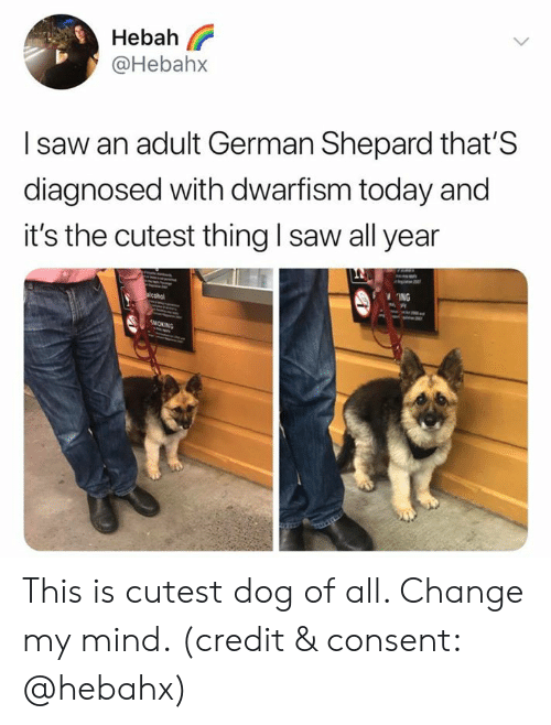 Shepard: Hebah  @Hebah>x  I saw an adult German Shepard that'S  diagnosed with dwarfism today and  it's the cutest thing I saw all year  ING This is cutest dog of all. Change my mind. (credit & consent: @hebahx)