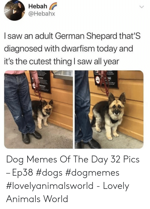 Shepard: Hebah  @Hebahx  I saw an adult German Shepard that'S  diagnosed with dwarfism today and  it's the cutest thing l saw all year  ING Dog Memes Of The Day 32 Pics – Ep38 #dogs #dogmemes #lovelyanimalsworld - Lovely Animals World