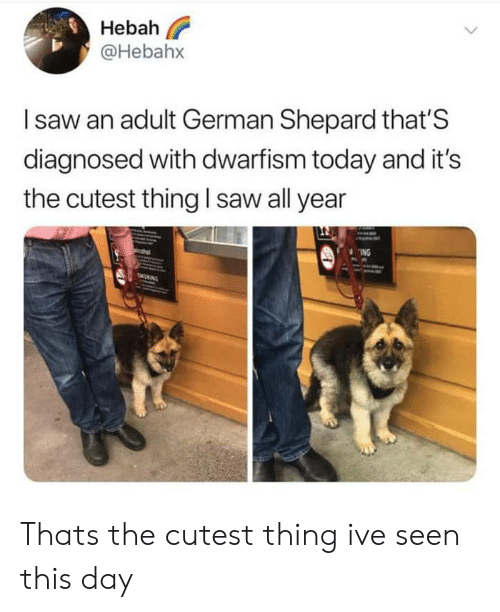Shepard: Hebah  @Hebahx  Isaw an adult German Shepard that'S  diagnosed with dwarfism today and it's  the cutest thing I saw all year  ING  MONING Thats the cutest thing ive seen this day