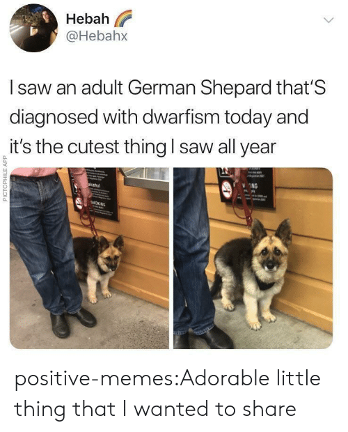 Shepard: Hebah  @Hebahx  l saw an adult German Shepard that'S  diagnosed with dwarfism today and  it's the cutest thing I saw all year  0  0  ING positive-memes:Adorable little thing that I wanted to share