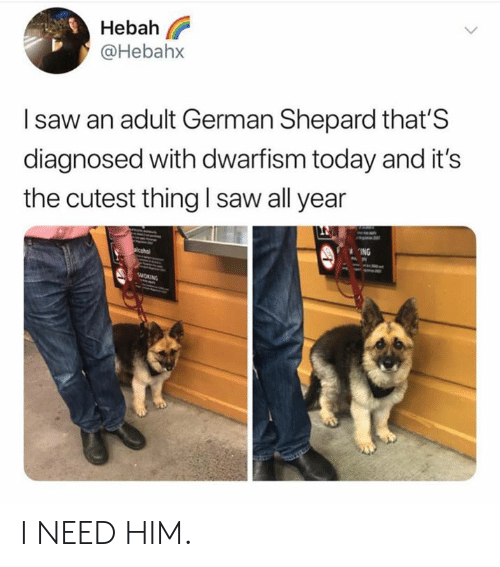 Dank, Saw, and Today: Hebah l?  @Hebahx  I saw an adult German Shepard that'S  diagnosed with dwarfism today and it's  the cutest thing I saw all year  ING I NEED HIM.
