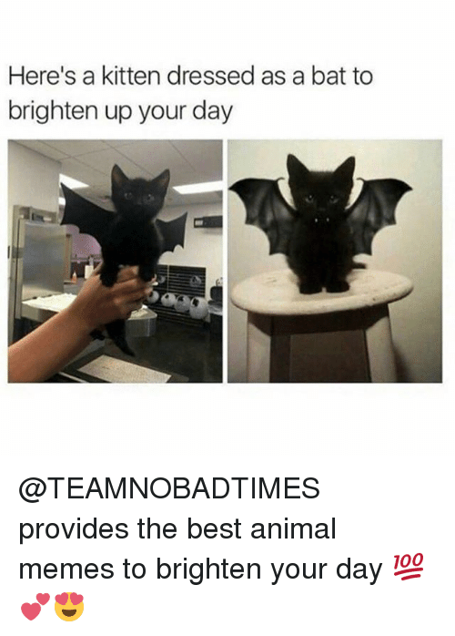 Memes, Animal, and Best: Here's a kitten dressed as a bat to  brighten up your day @TEAMNOBADTIMES provides the best animal memes to brighten your day 💯💕😍