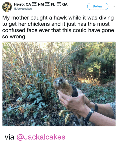 "Confused, Target, and Twitter: Herro: CA 9 NMFL GA  Follow  @Jackalcakes  My mother caught a hawk while it was diving  to get her chickens and it just has the most  confused face ever that this could have gone  so wrong <p>via <a href=""https://twitter.com/Jackalcakes/status/975530919434993664"" target=""_blank"">@Jackalcakes</a></p>"
