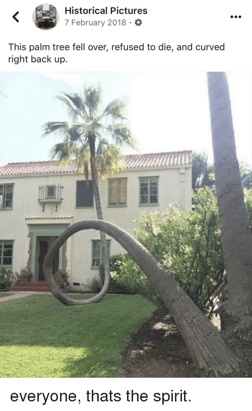 Pictures, Spirit, and Tree: Historical Pictures  7 February 2018 O  This palm tree fell over, refused to die, and curved  right back up.  C) everyone, thats the spirit.