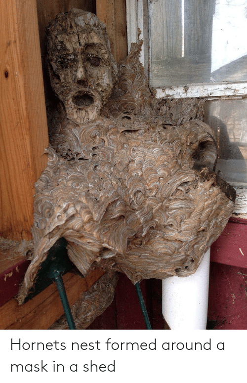shed: Hornets nest formed around a mask in a shed