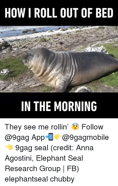 See Me Rollin: HOW I ROLL OUT OF BED  IN THE MORNING They see me rollin' 😨 Follow @9gag App📲👉@9gagmobile 👈 9gag seal (credit: Anna Agostini, Elephant Seal Research Group | FB) elephantseal chubby