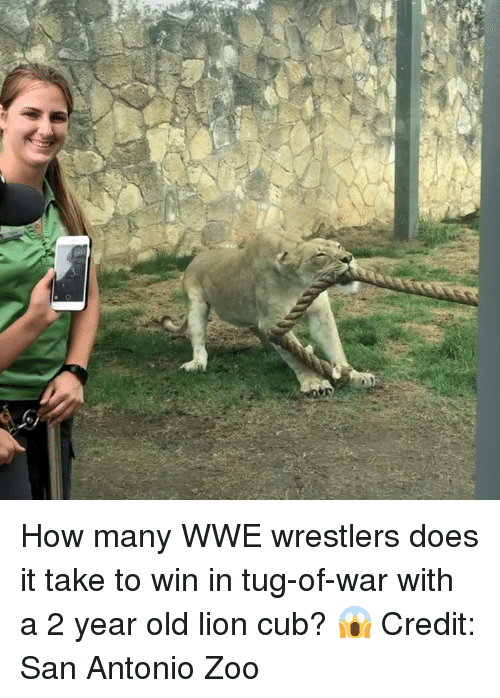 San Antonio: How many WWE wrestlers does it take to win in tug-of-war with a 2 year old lion cub? 😱  Credit:  San Antonio Zoo