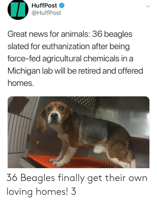 Animals, News, and Michigan: HuffPost  @HuffPost  Great news for animals. 36 beagles  slated for euthanization after being  force-fed agricultural chemicals in a  Michigan lab will be retired and offered  homes. 36 Beagles finally get their own loving homes! 3