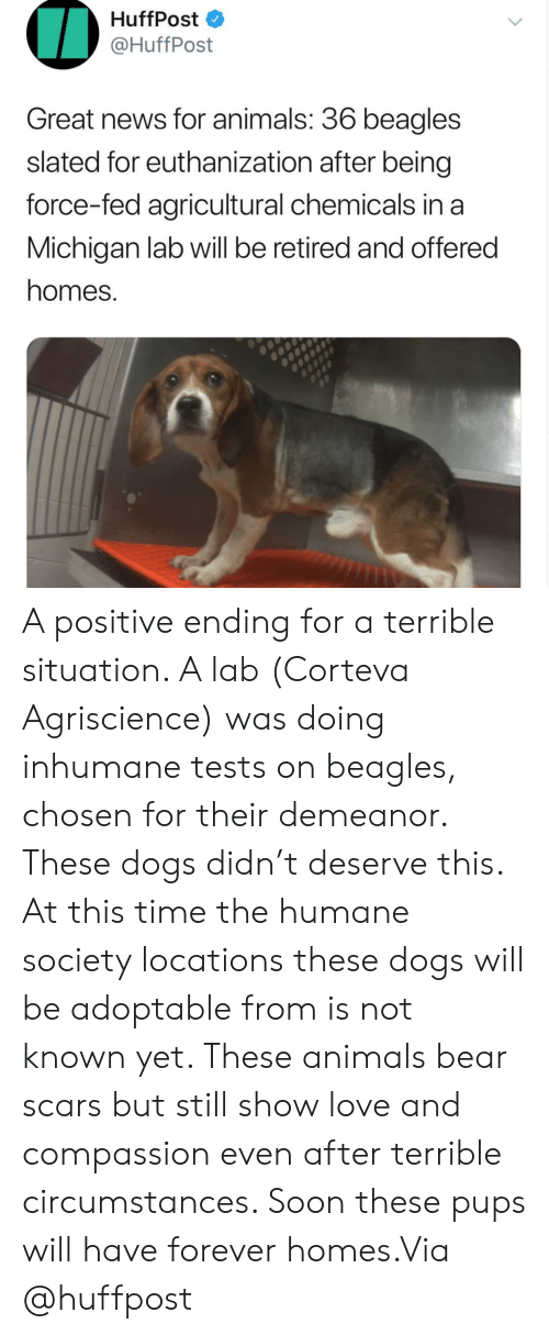 Animals, Dogs, and Instagram: HuffPost  @HuffPost  Great news for animals: 36 beagles  slated for euthanization after being  force-fed agricultural chemicals in a  Michigan lab will be retired and offered  homes. A positive ending for a terrible situation. A lab (Corteva Agriscience) was doing inhumane tests on beagles, chosen for their demeanor. These dogs didn't deserve this. At this time the humane society locations these dogs will be adoptable from is not known yet. These animals bear scars but still show love and compassion even after terrible circumstances. Soon these pups will have forever homes.Via @huffpost