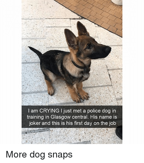 first day on the job: I am CRYING I just met a police dog in  training in Glasgow central. His name is  joker and this is his first day on the job More dog snaps