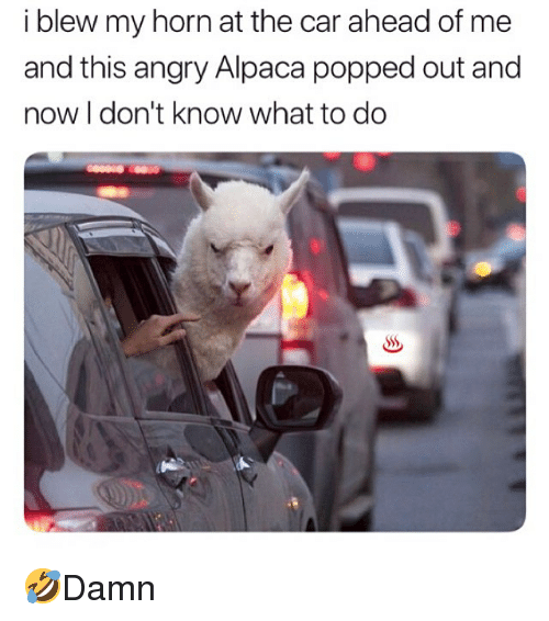 Memes, Angry, and Alpaca: i blew my horn at the car ahead of me  and this angry Alpaca popped out and  now I don't know what to do 🤣Damn