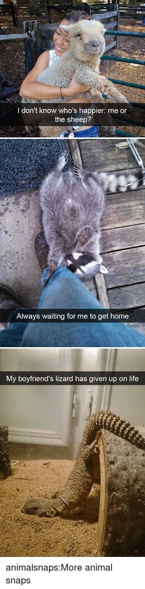 Life, Target, and Tumblr: I don't know who's happier: me or  the sheep?   Always waiting for me to get  home   My boyfriend's lizard has given up on life animalsnaps:More animal snaps