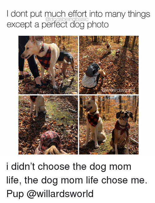 Life, Memes, and Mom: I dont put much effort into many things  except a perfect dog photo i didn't choose the dog mom life, the dog mom life chose me. Pup @willardsworld