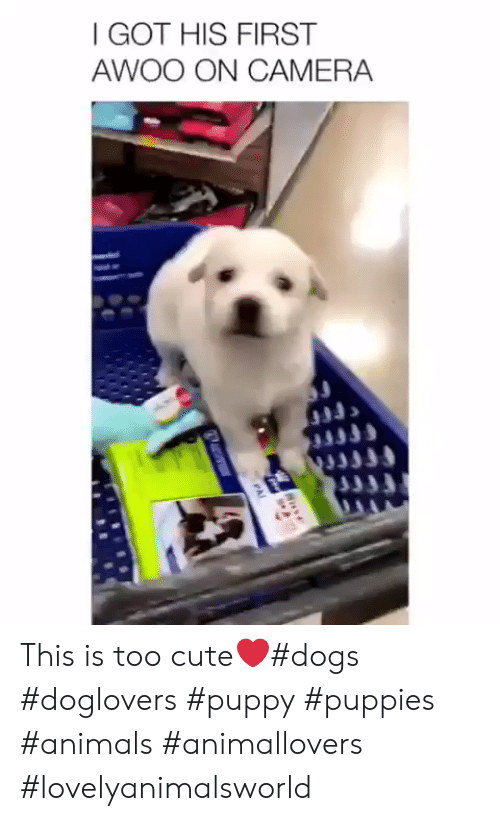 Animals, Cute, and Dogs: I GOT HIS FIRST  AWOO ON CAMERA This is too cute❤#dogs #doglovers #puppy #puppies #animals #animallovers #lovelyanimalsworld