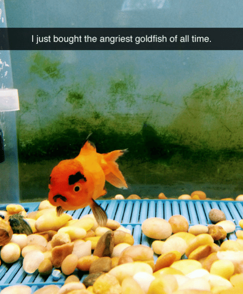 Goldfish: I just bought the angriest goldfish of all time