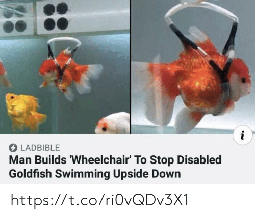 Goldfish: i  LADBIBLE  Man Builds 'Wheelchair' To Stop Disabled  Goldfish Swimming Upside Down https://t.co/ri0vQDv3X1