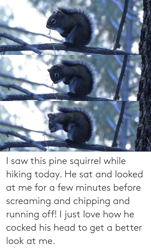 Better Look: I saw this pine squirrel while hiking today. He sat and looked at me for a few minutes before screaming and chipping and running off! I just love how he cocked his head to get a better look at me.
