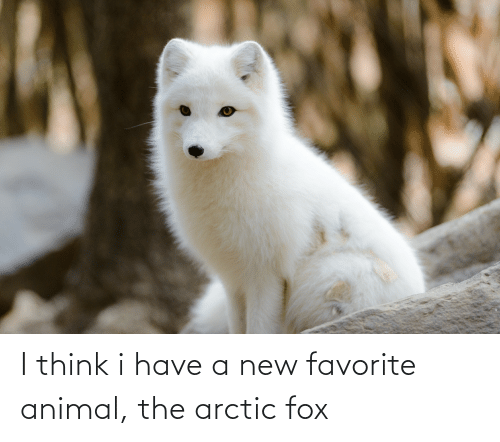 fox: I think i have a new favorite animal, the arctic fox