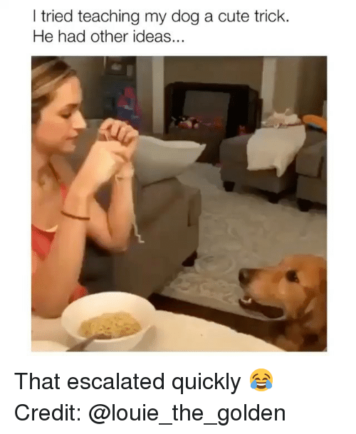 Cute, Memes, and Louie: I tried teaching my dog a cute trick.  He had other ideas... That escalated quickly 😂 Credit: @louie_the_golden