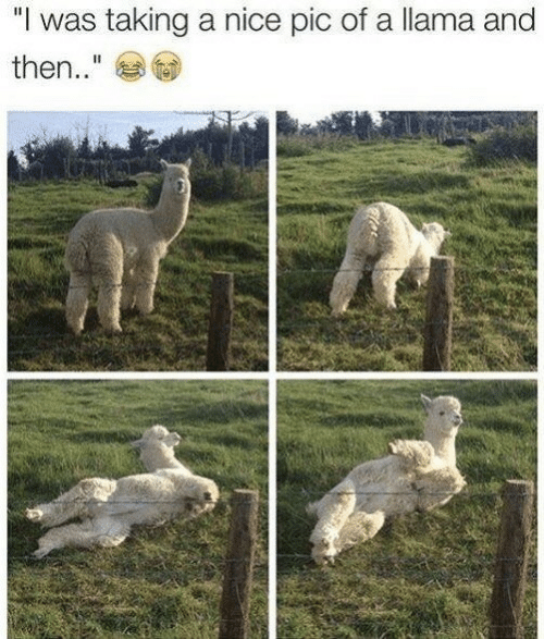 "Nice, Llama, and Pic: ""I was taking a nice pic of a llama and  then.."""