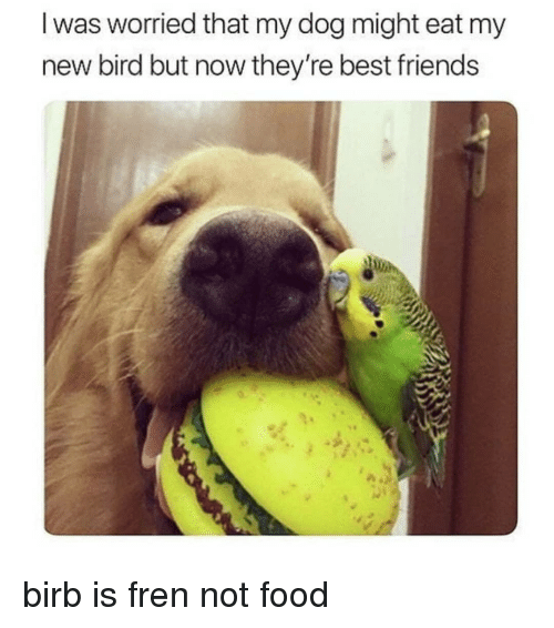 Food, Friends, and Memes: I was worried that my dog might eat my  new bird but now they're best friends birb is fren not food