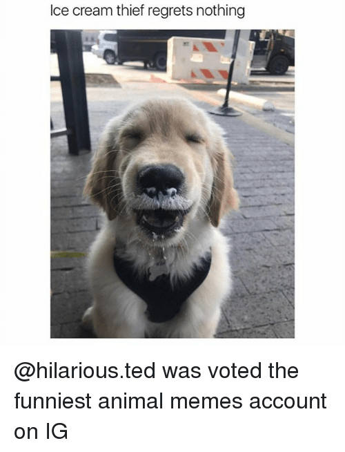 Funniest Animal: Ice cream thief regrets nothing @hilarious.ted was voted the funniest animal memes account on IG