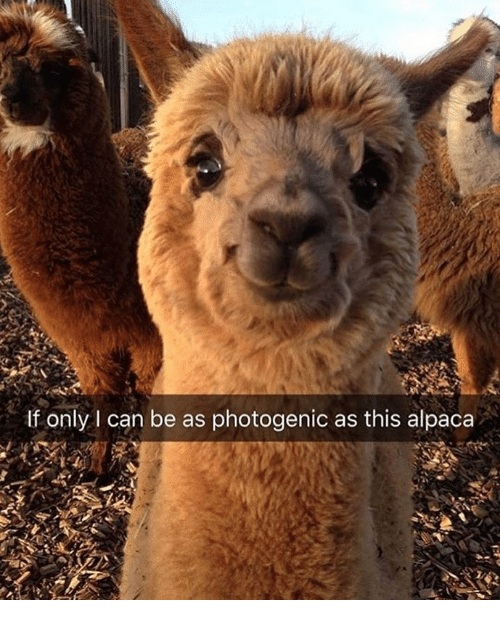 Memes, Alpaca, and 🤖: If only I can be as photogenic as this alpaca