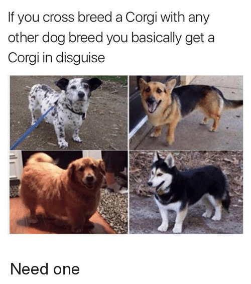 Corgi, Funny, and Cross: If you cross breed a Corgi with any  other dog breed you basically get a  Corgi in disguise Need one