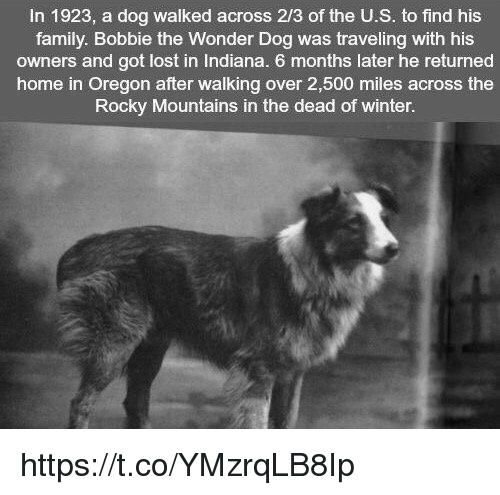 Memes, Rocky, and Indiana: In 1923, a dog walked across 2/3 of the U.S. to find his  family. Bobbie the Wonder Dog was traveling with his  owners and got lost in Indiana. 6 months later he returned  home in Oregon after walking over 2,500 miles across the  Rocky Mountains in the dead of winter. https://t.co/YMzrqLB8Ip