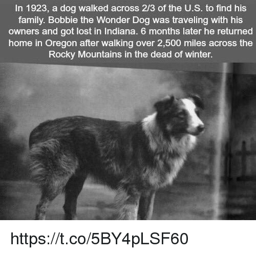 Memes, Rocky, and Indiana: In 1923, a dog walked across 2/3 of the U.S. to find his  family. Bobbie the Wonder Dog was traveling with his  owners and got lost in Indiana. 6 months later he returned  home in Oregon after walking over 2,500 miles across the  Rocky Mountains in the dead of winter. https://t.co/5BY4pLSF60