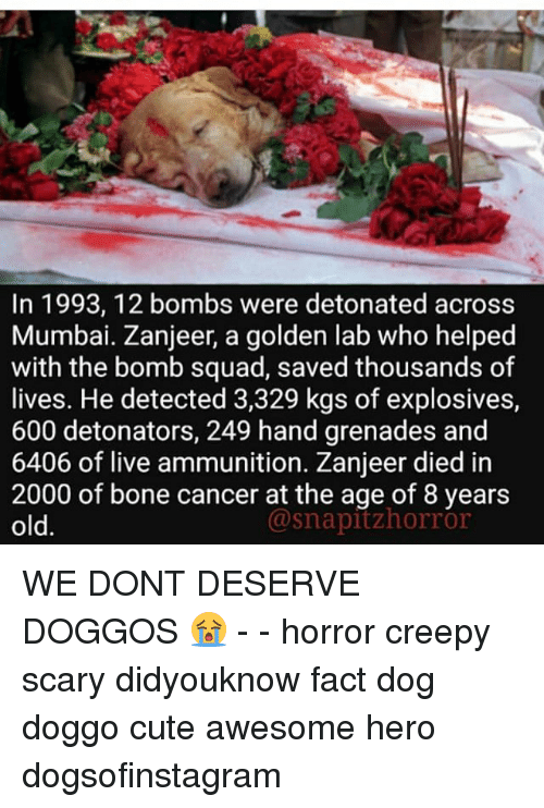 Dieded: In 1993, 12 bombs were detonated across  Mumbai. Zanjeer, a golden lab who helped  with the bomb squad, saved thousands of  lives. He detected 3,329 kgs of explosives,  600 detonators, 249 hand grenades and  6406 of live ammunition. Zanjeer died in  2000 of bone cancer at the age of 8 years  old.  @snapitzhorror WE DONT DESERVE DOGGOS 😭 - - horror creepy scary didyouknow fact dog doggo cute awesome hero dogsofinstagram