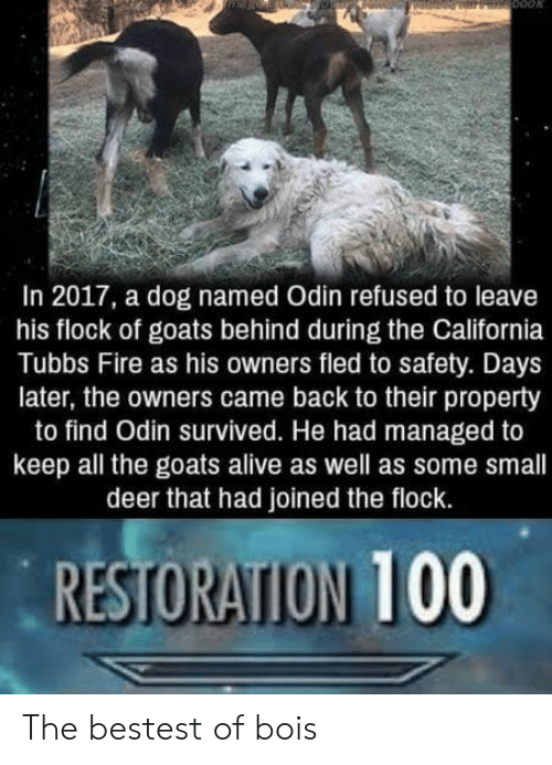 Alive, Anaconda, and Deer: In 2017, a dog named Odin refused to leave  his flock of goats behind during the California  Tubbs Fire as his owners fled to safety. Days  later, the owners came back to their property  to find Odin survived. He had managed to  keep all the goats alive as well as some small  deer that had joined the flock.  RESTORATION 100 The bestest of bois