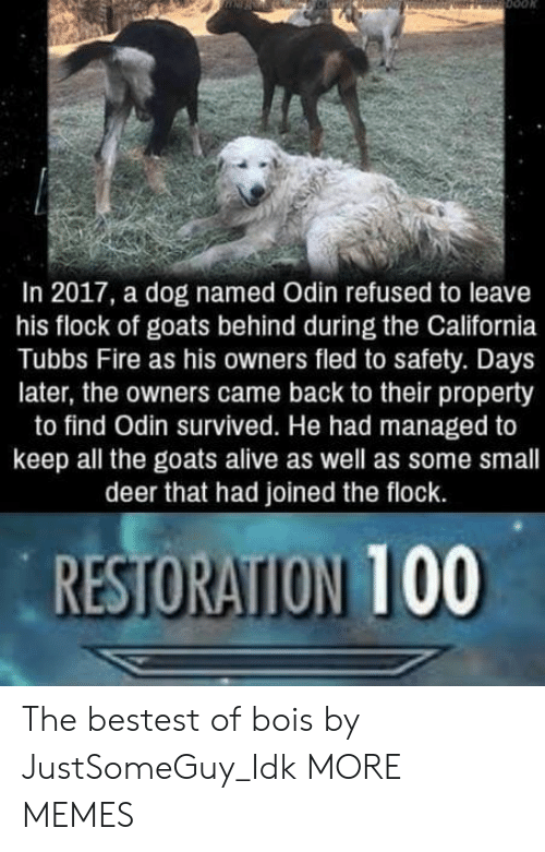 Alive, Anaconda, and Dank: In 2017, a dog named Odin refused to leave  his flock of goats behind during the California  Tubbs Fire as his owners fled to safety. Days  later, the owners came back to their property  to find Odin survived. He had managed to  keep all the goats alive as well as some small  deer that had joined the flock.  RESTORATION 100 The bestest of bois by JustSomeGuy_Idk MORE MEMES