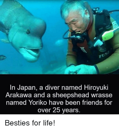 Friends, Life, and Japan: In Japan, a diver named Hiroyuki  Arakawa and a sheepshead wrasse  named Yoriko have been friends for  over 25 years Besties for life!