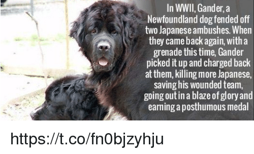 newfoundland: In WWII,Gander, a  Newfoundland dog fended off  two Japanese ambushes. When  they came back again, with a  grenade this time, Gander  picked it up and chargedback  at them, killing more Japanese,  saving his wounded team,  going out in a blazeof glory and  earning aposthumous medal https://t.co/fn0bjzyhju