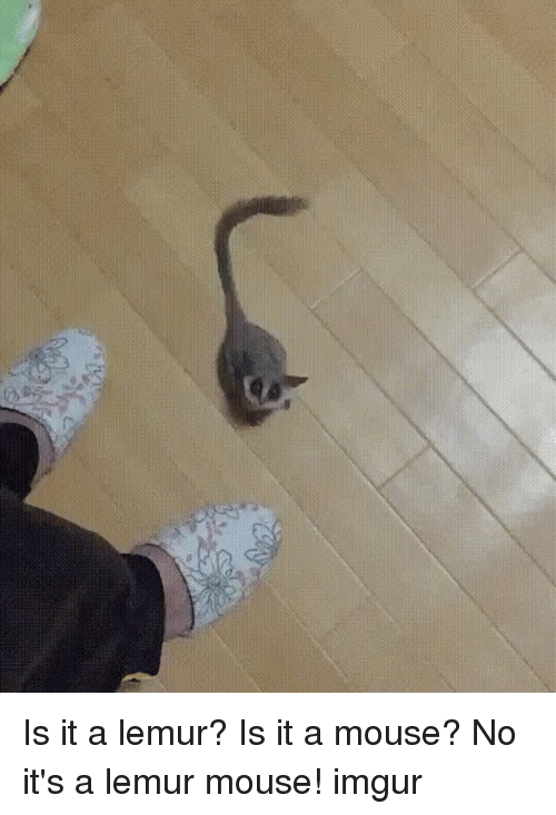 imgure: Is it a lemur? Is it a mouse? No it's a lemur mouse! imgur