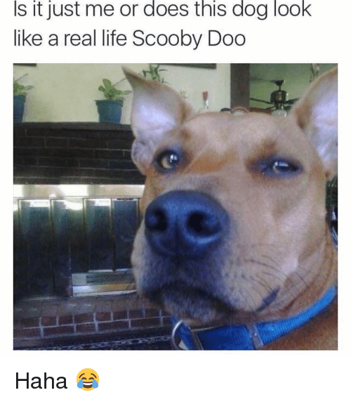 Life, Memes, and Scooby Doo: Is it just me or does this dog look  like a real life Scooby Doo Haha 😂